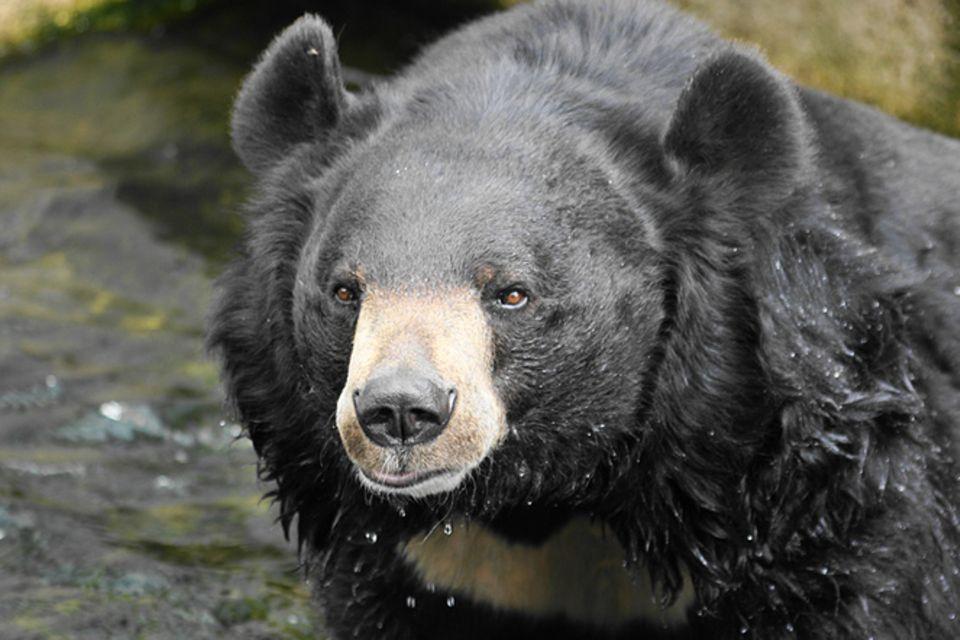 Tierlexikon: Kragenbär