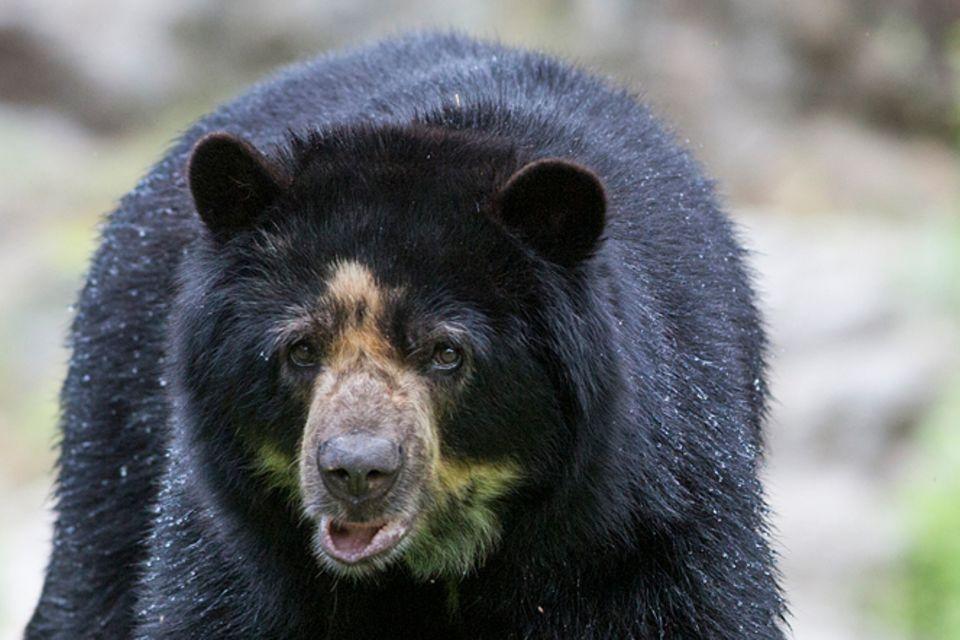 Tierlexikon: Amerikanischer Schwarzbär