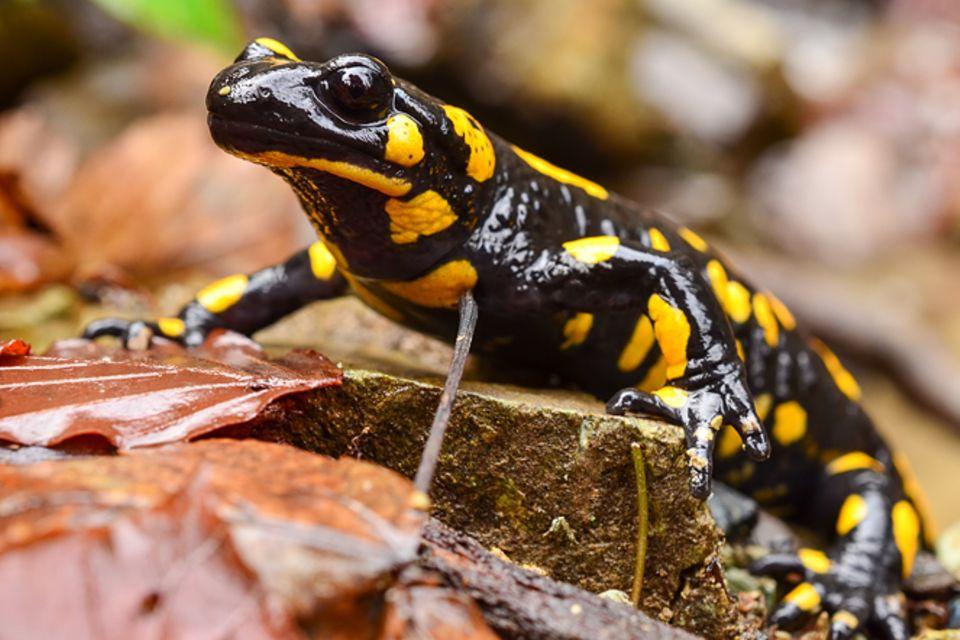 Tierlexikon: Feuersalamander