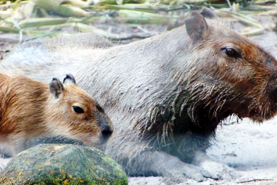 Tierlexikon: Wasserschwein