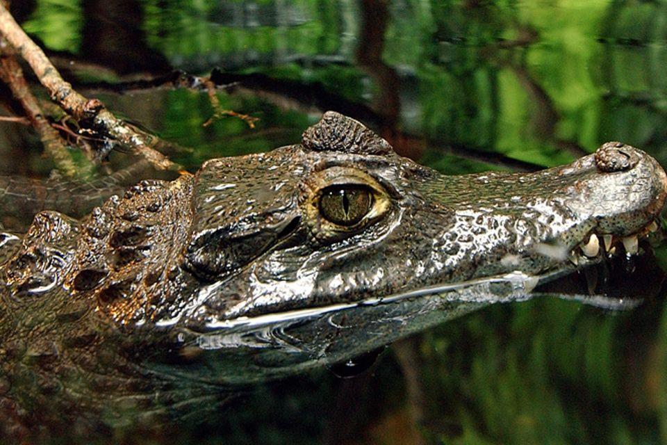 Tierlexikon: Krokodil