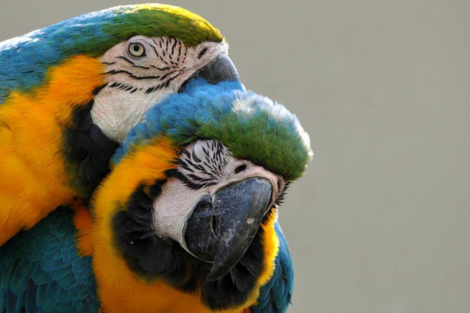 Tierlexikon: Papagei
