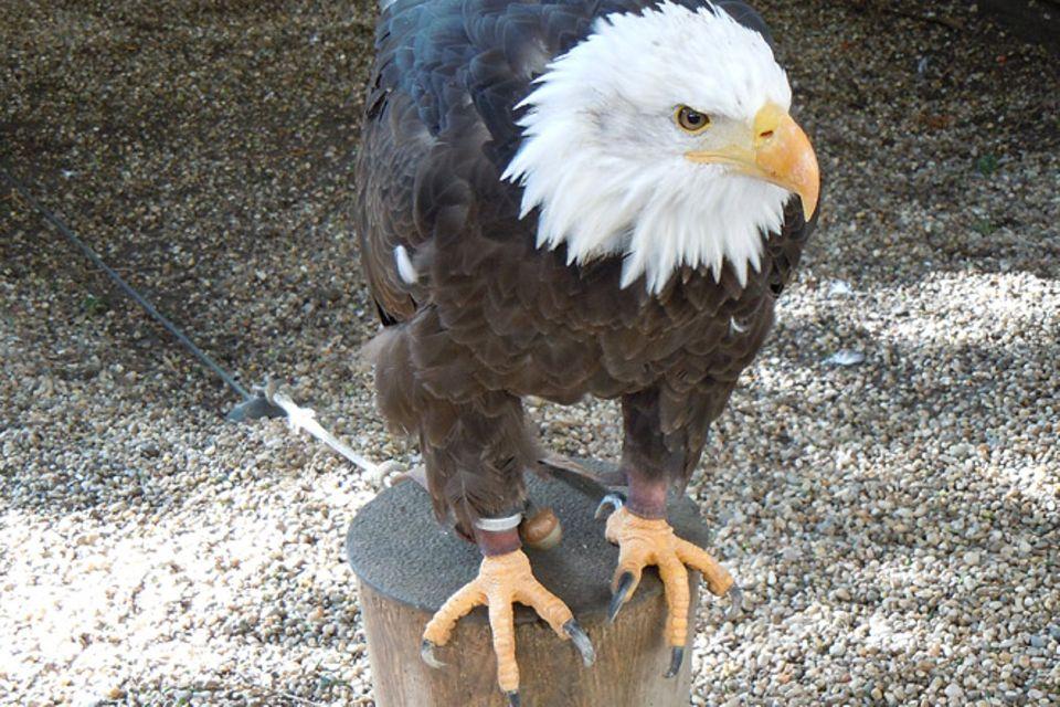 Tierlexikon: Weißkopfseeadler