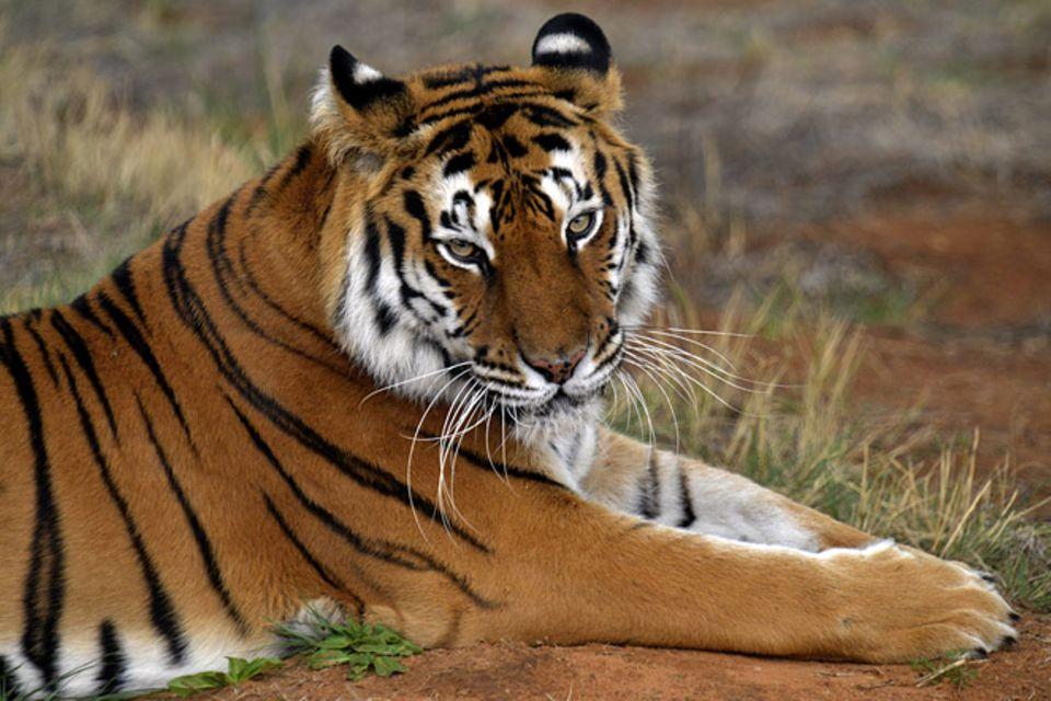Tierlexikon: Sibirischer Tiger