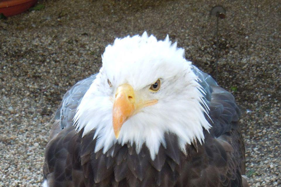 Tierlexikon: Seeadler