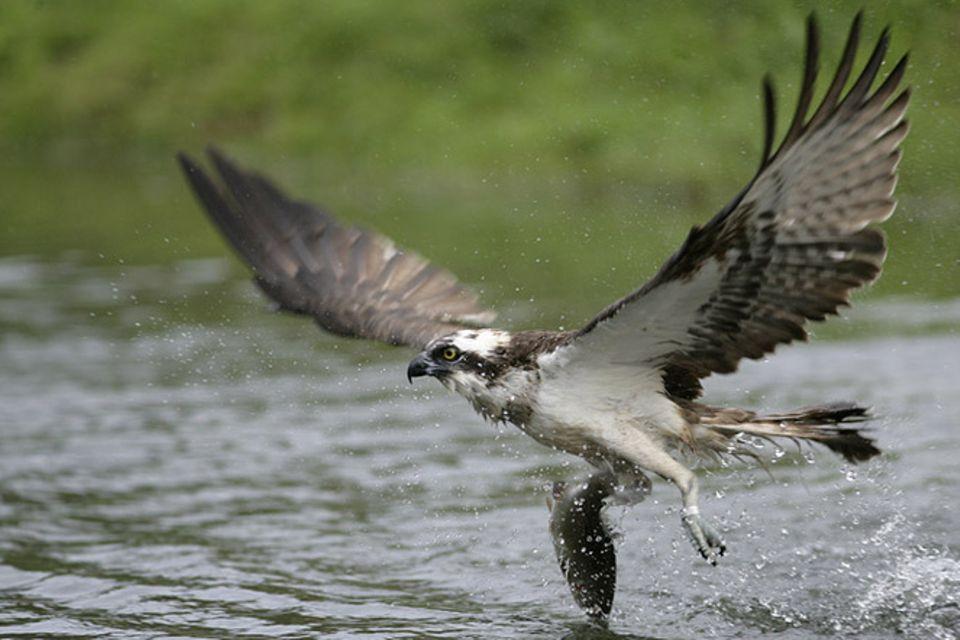 Tierlexikon: Fischadler