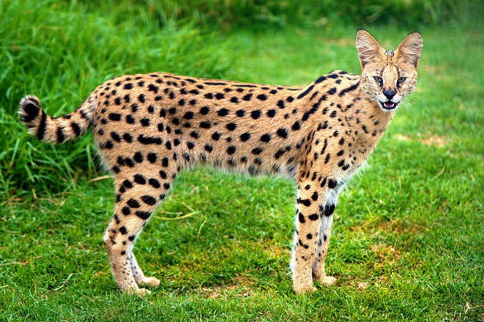 Tierlexikon: Serval