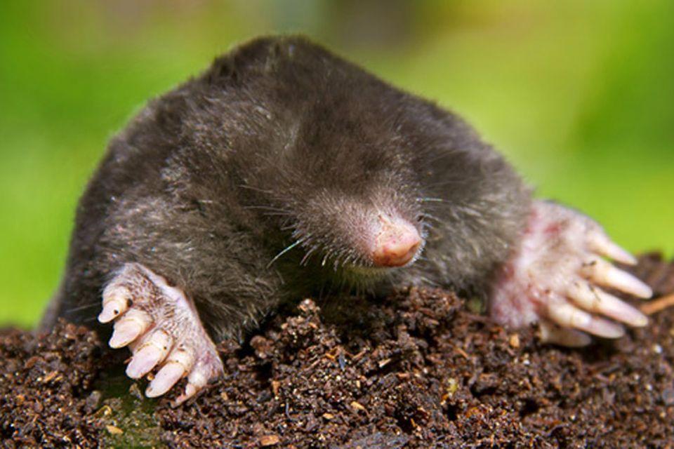 Tierlexikon: Maulwurf
