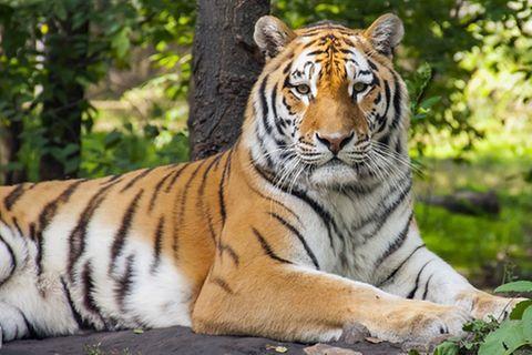 Tierlexikon: Königstiger