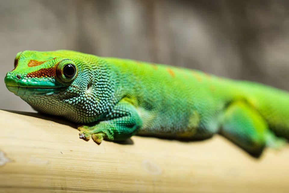 Tierlexikon: Gecko