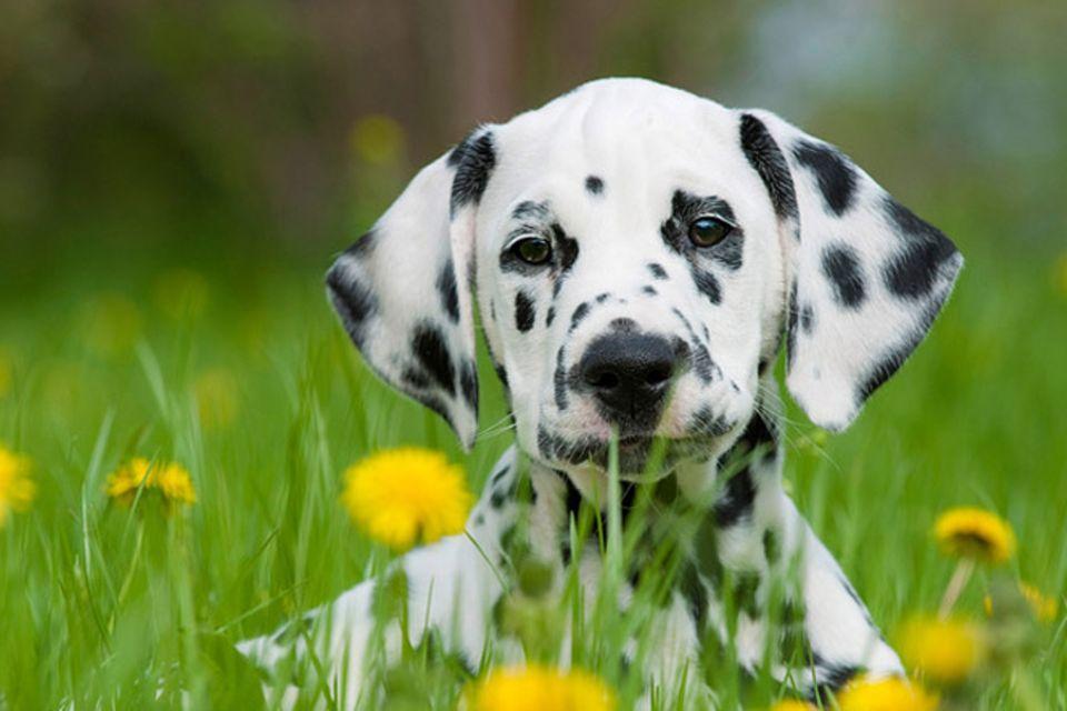 Tierlexikon: Dalmatiner