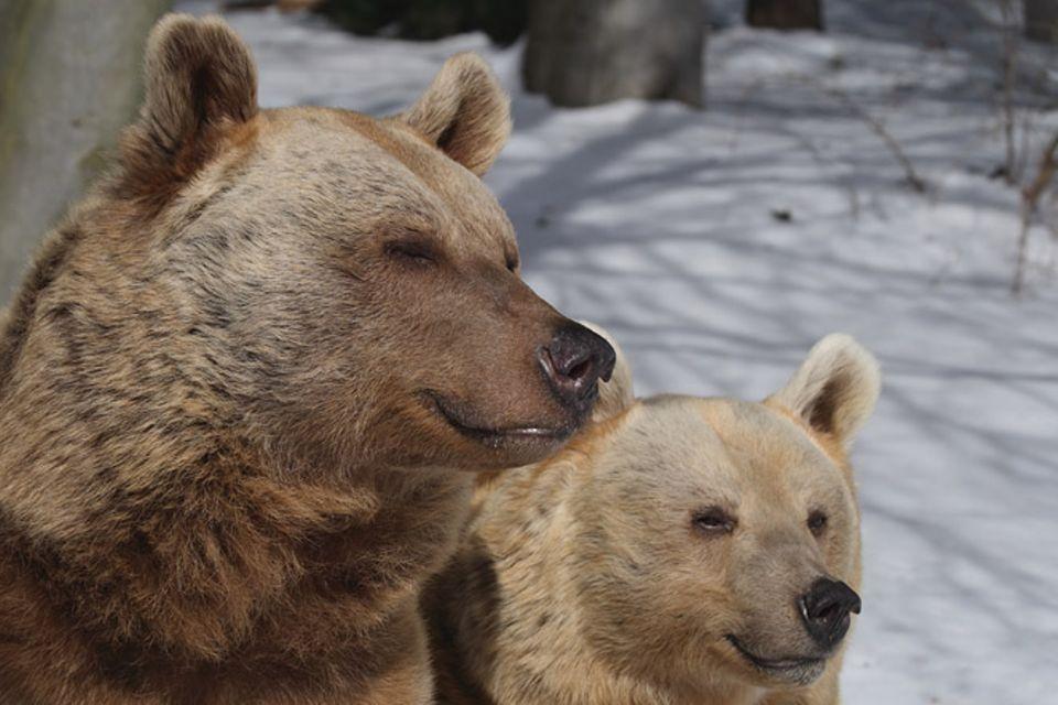 Tierlexikon: Braunbär