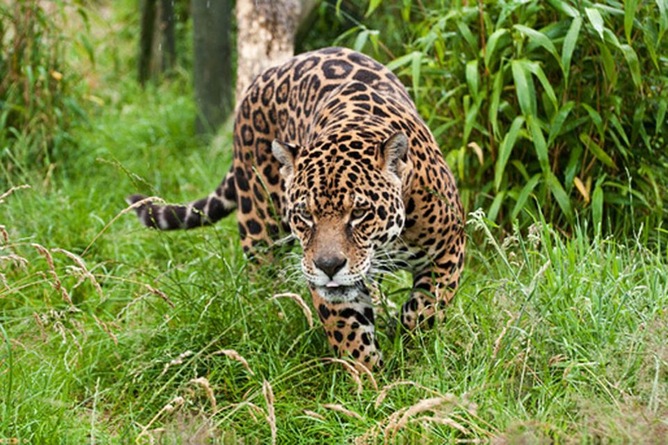 Tierlexikon: Jaguar