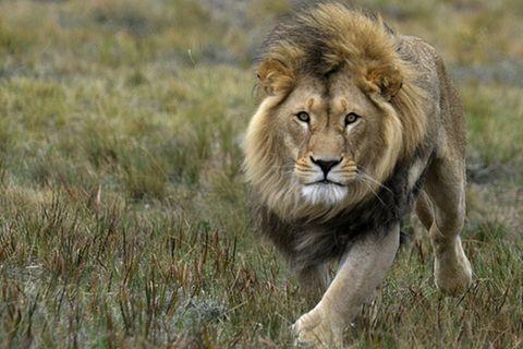 Tierlexikon: Löwe
