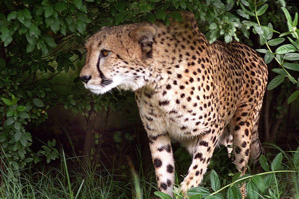 Tierlexikon: Gepard