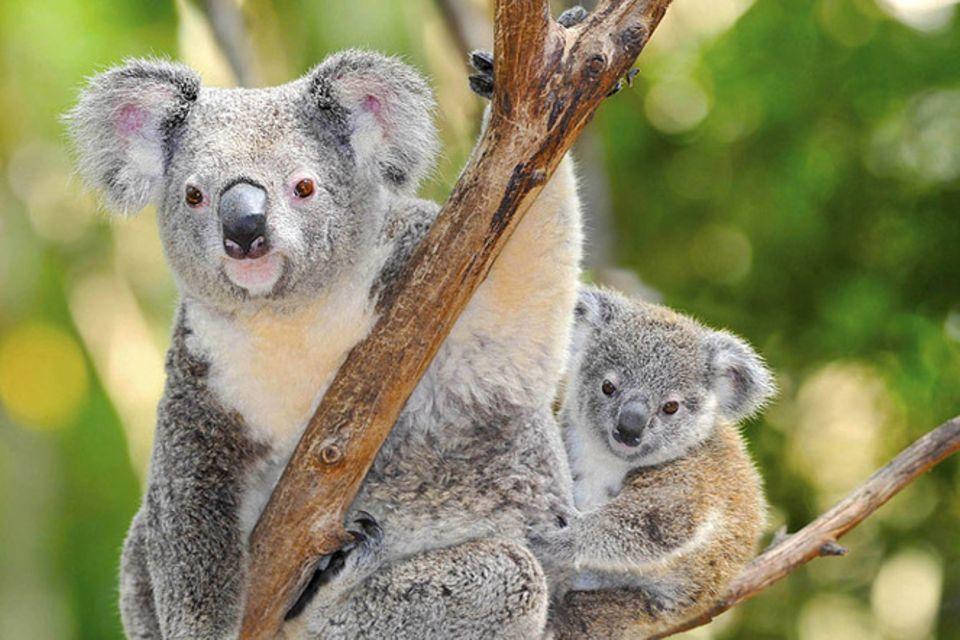 Tierlexikon: Koala