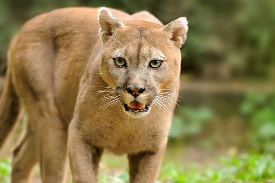 Tierlexikon: Puma