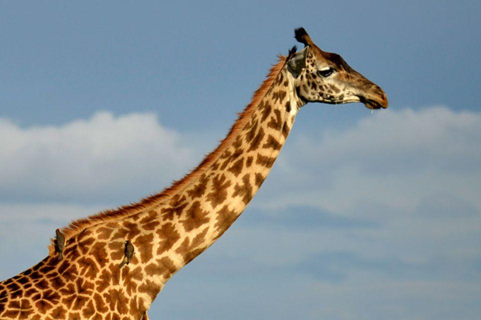 Tierlexikon: Giraffen: Riesen der Savanne