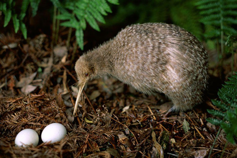 Tierlexikon: Kiwi