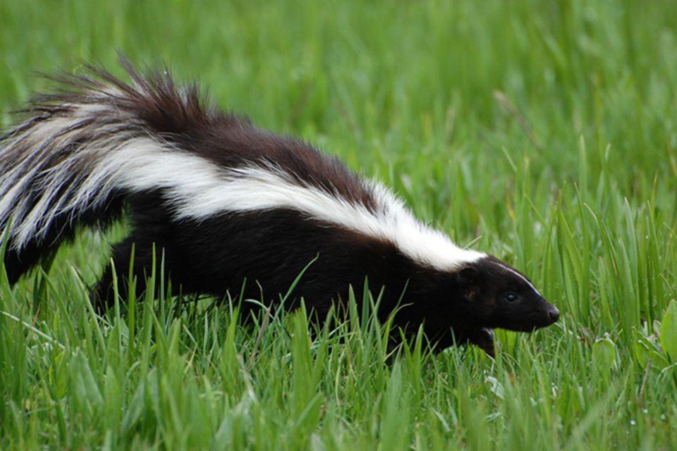 Tierlexikon: Stinktier