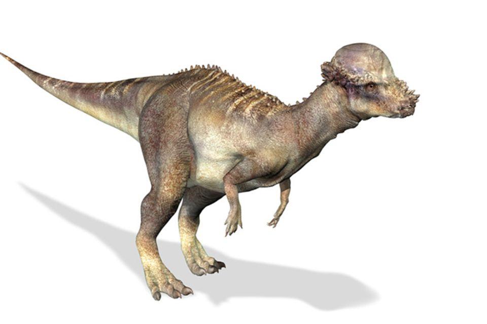 Tierlexikon: Pachycephalosaurus
