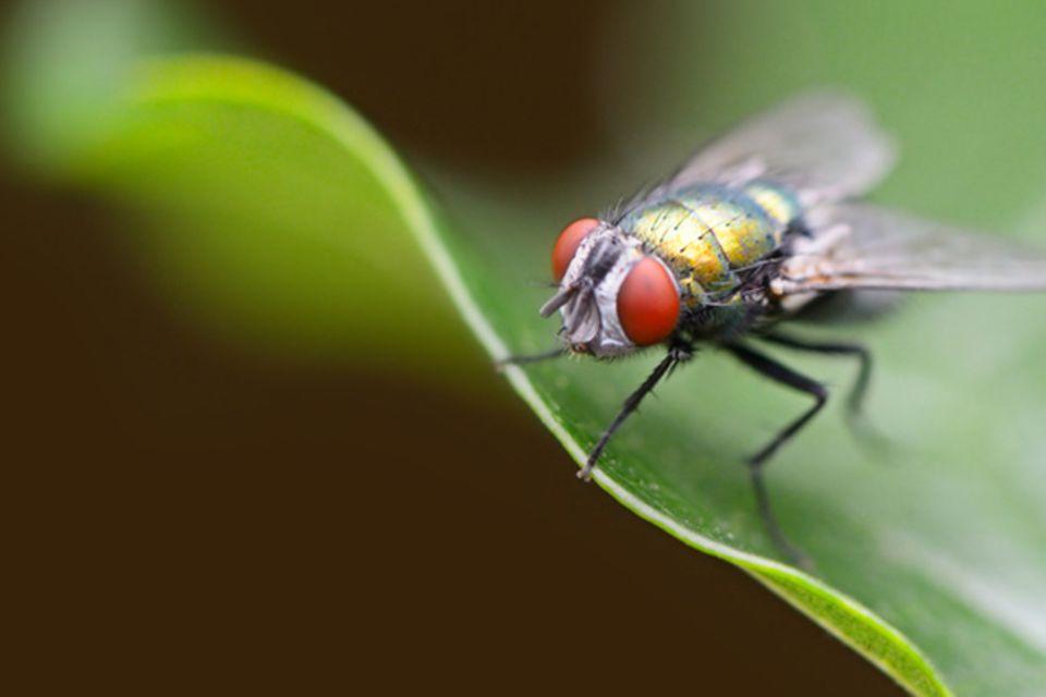 Tierlexikon: Fliege