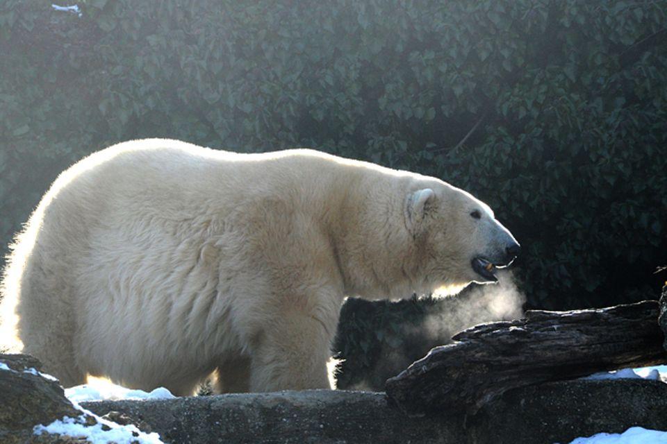Tierlexikon: Eisbär