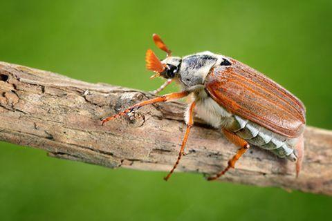 Tierlexikon: Käfer