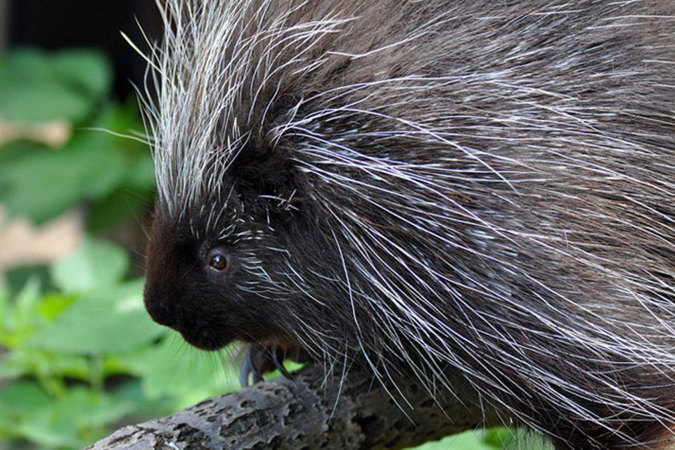 Tierlexikon: Baumstachler