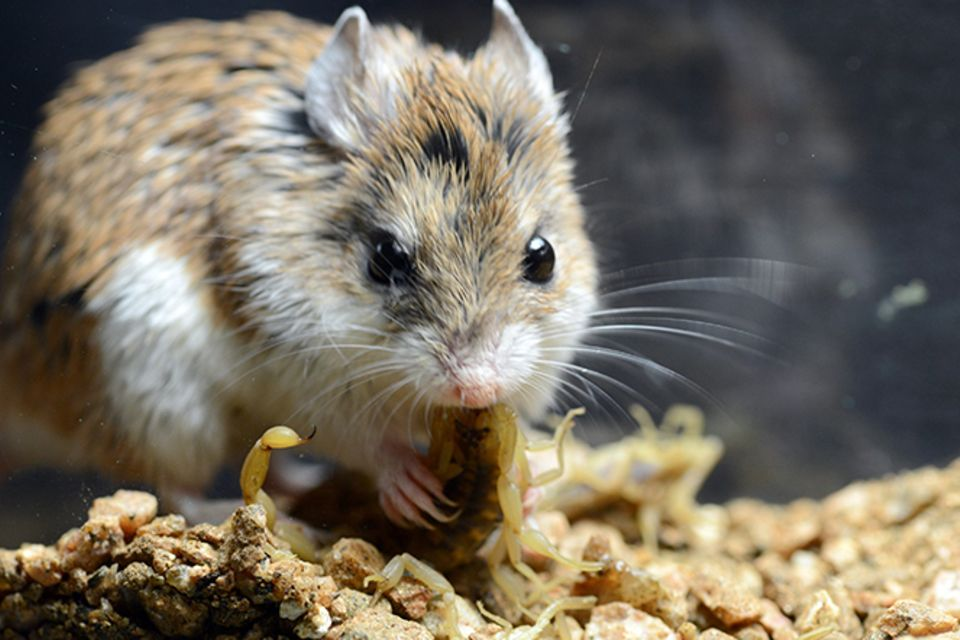 Tierlexikon: Grashüpfermaus