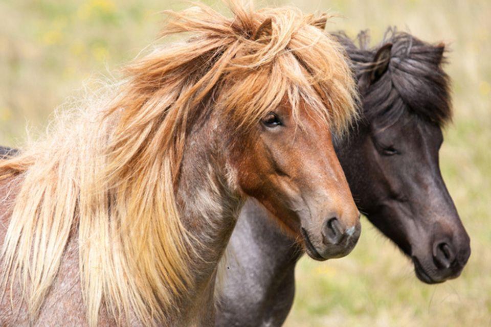 Tierlexikon: Islandpferde