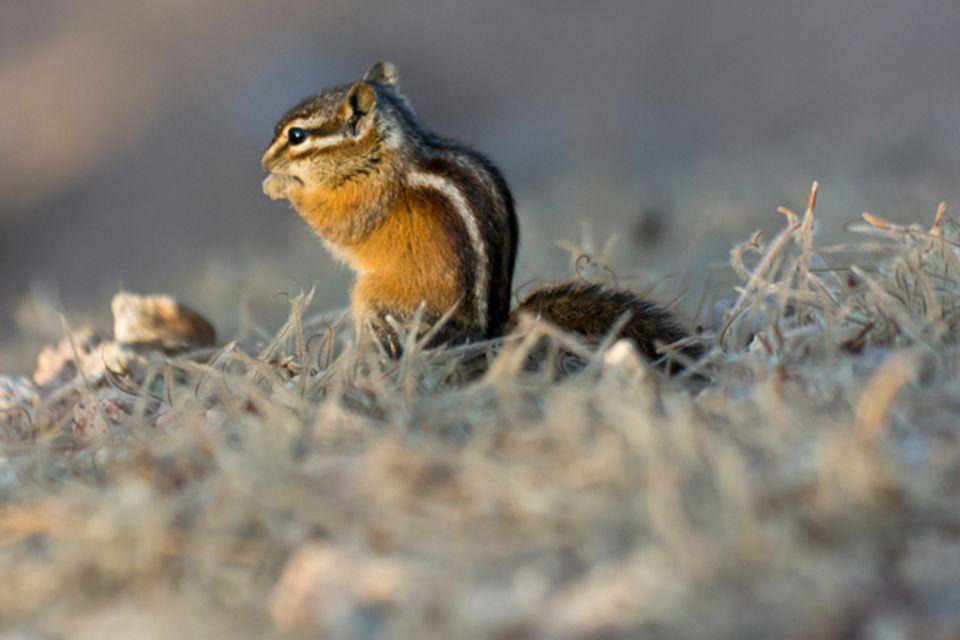 Tierlexikon: Streifen-Backenhörnchen