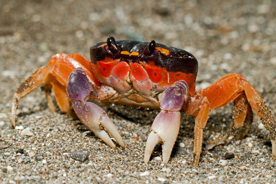 Tierlexikon: Rote Landkrabbe