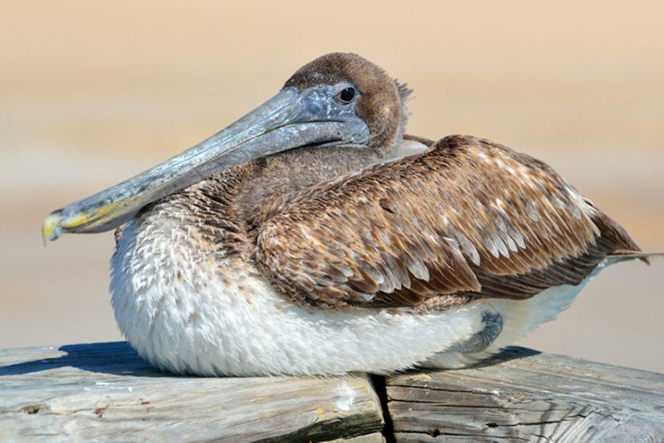 Tierlexikon: Braune Pelikane