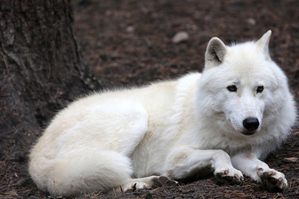 Tierlexikon: Polarwolf