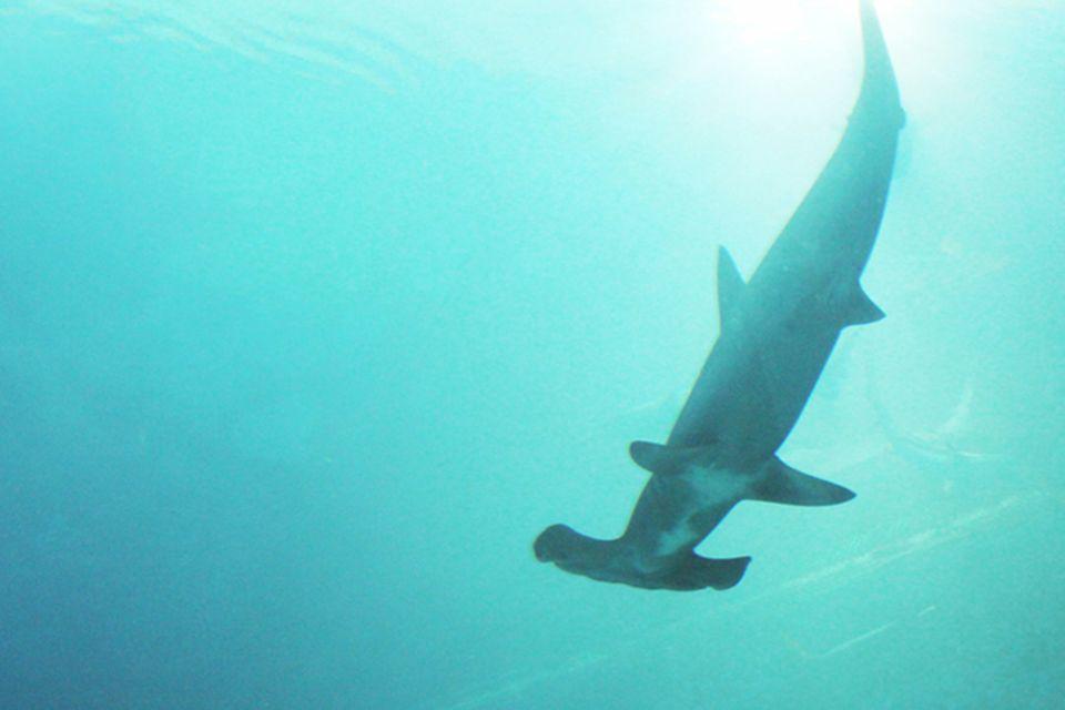 Tierlexikon: Hammerhai