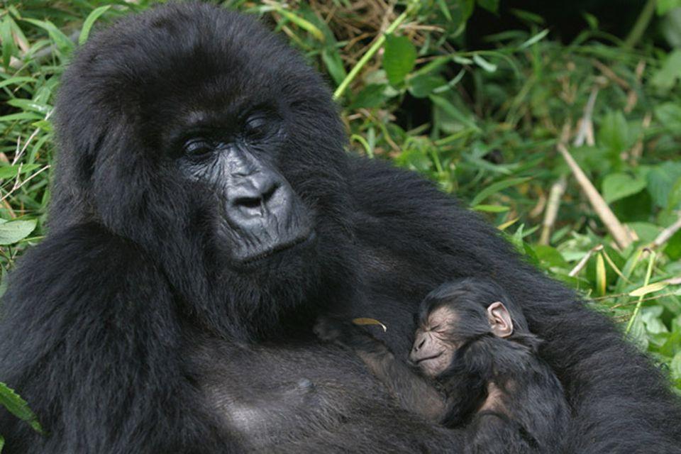 Tierlexikon: Berggorilla