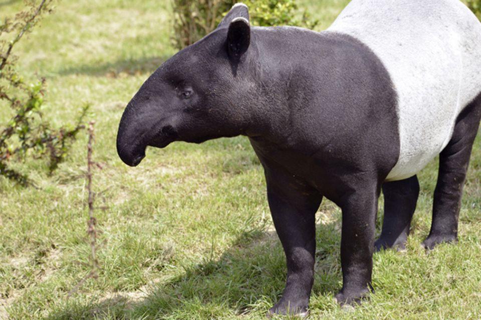Tierlexikon: Tapir