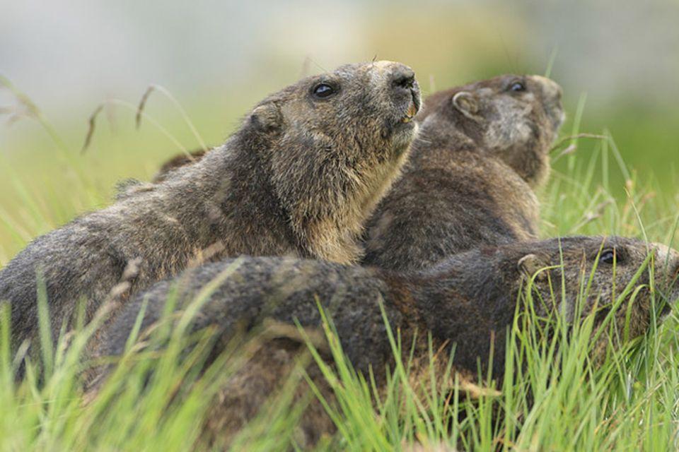 Tierlexikon: Alpenmurmeltier