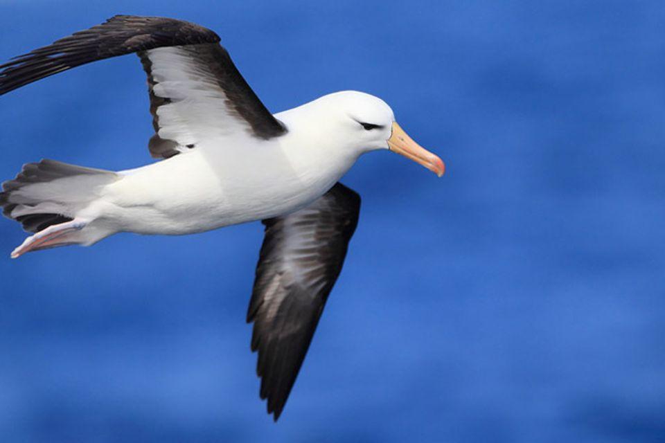 Tierlexikon: Albatros