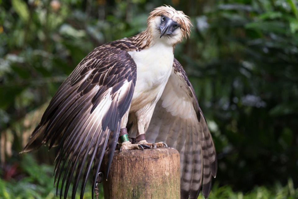 Tierlexikon: Philippinenadler