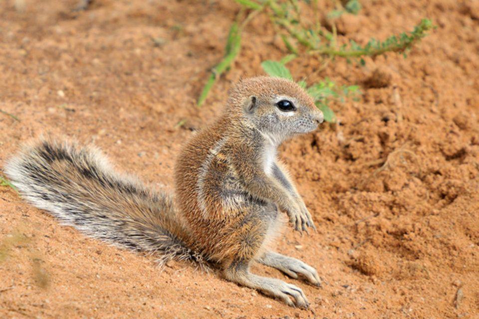 Tierlexikon: Kap-Borstenhörnchen