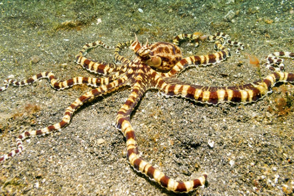 Tierlexikon: Mimic Octopus