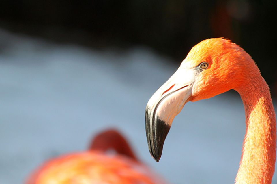 Tierlexikon: Flamingo
