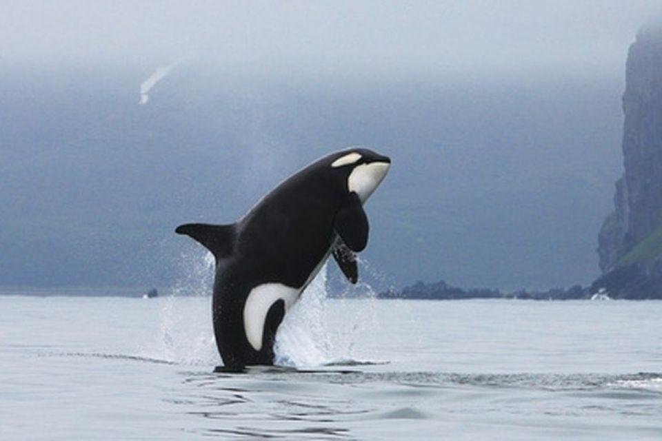 Tierlexikon: Orcas