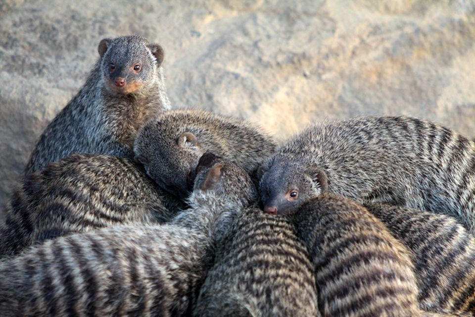 Tierlexikon: Zebramanguste