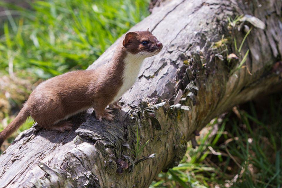 Tierlexikon: Hermeline