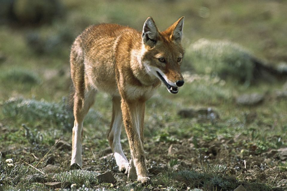 Tierlexikon: Äthiopischer Wolf