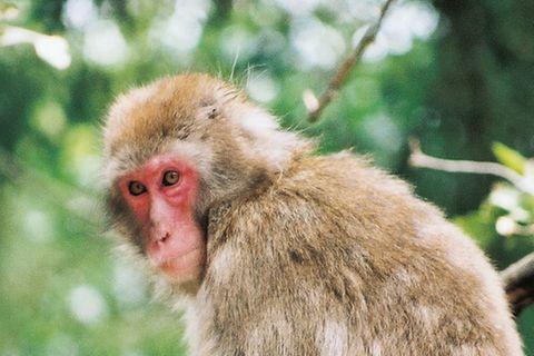 Tierlexikon: Rotgesichtsmakak