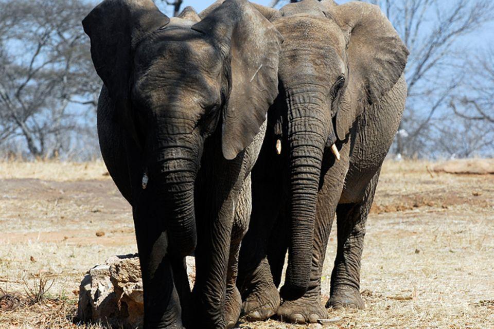 Tierlexikon: Afrikanischer Elefant